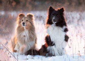 Shetlandsheepdogs