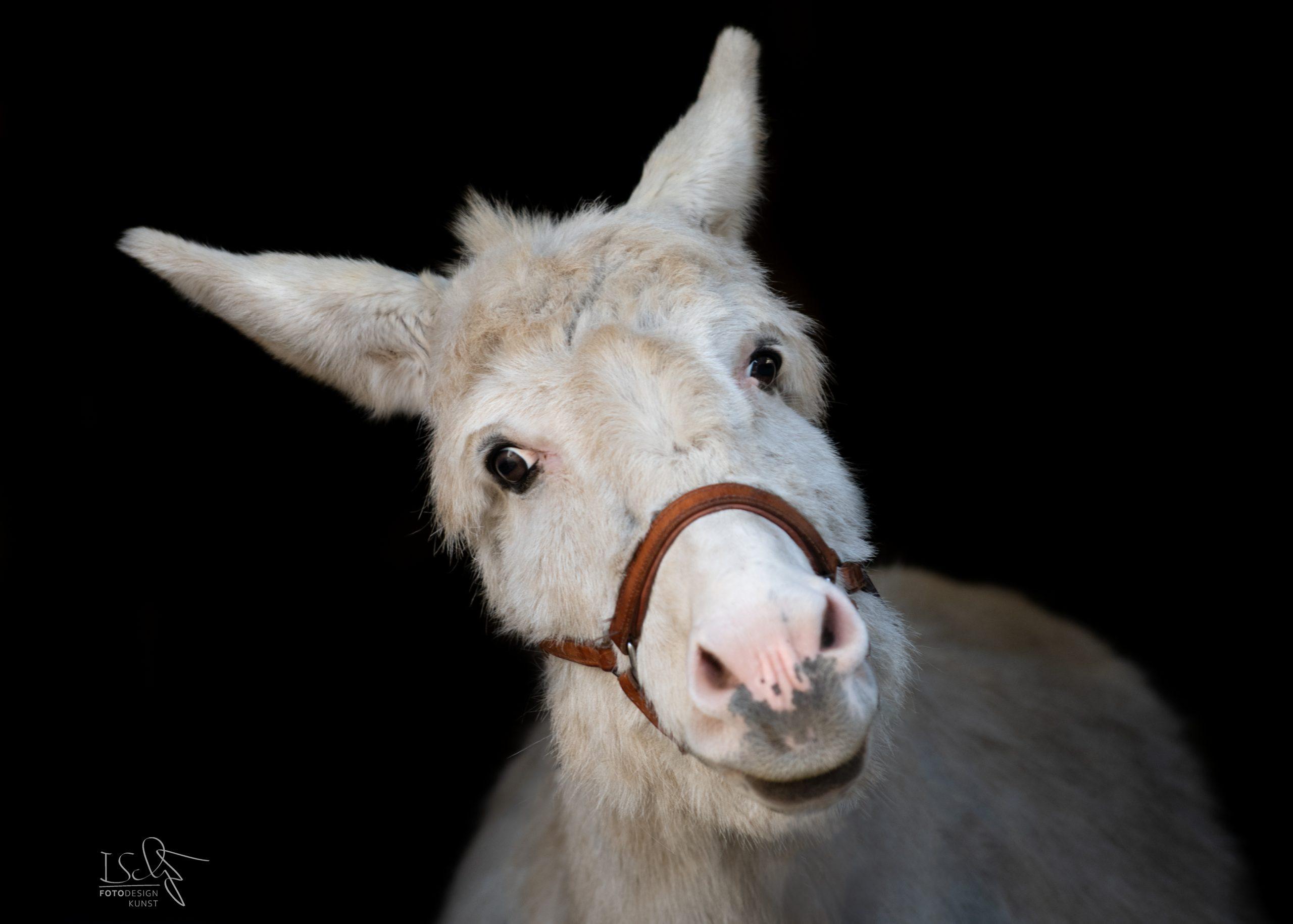 Tierfotografie Velbert – Eselshooting